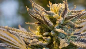 medical marijuana users